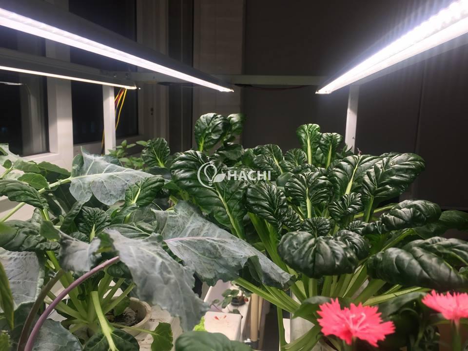 cho đến những giống rau lạ khó trồng với thời tiết Việt Nam như cải hoa hồng, đinh hương, basui, xà lách Romaine,...