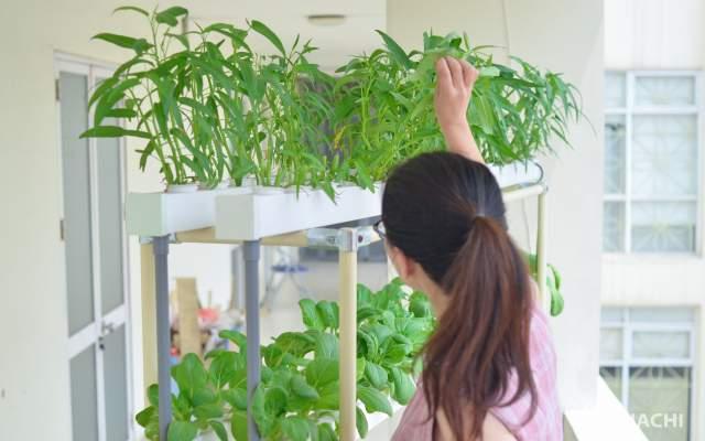 dinh dưỡng thủy canh là yếu tố rất quan trọng trong kỹ thuật trồng cây bằng phương pháp thủy canh