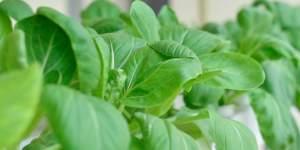 Rau cải thích hợp cho trồng thủy canh