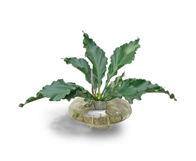 Cây đại đế lá xoăn là loại cây cảnh thích hợp trồng trong môi trường thủy canh