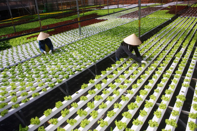 Trang trại thủy canh trồng rau xà lách được đầu tư 2 tỷ đồng bằng phương pháp trồng thủy canh rộng 3.000m2 trên mảnh đất 3 héc ta.