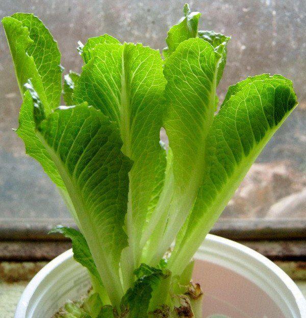 Xà lách Romaine chứa nhiều chất dinh dưỡng tốt cho sức khỏe