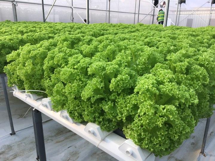 Rau xà lách trồng từ hạt giống xà lách nhập khẩu Hà Lan cho năng suất cao và hình thức bắt mắt