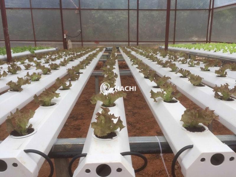 Trang trại thủy canh Đà Lạt Hokkaido trồng các loại xà lách, cà chua và dưa chuột