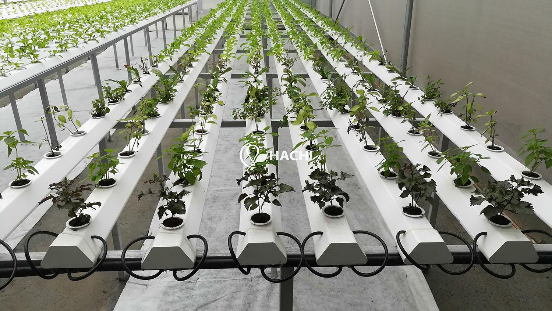 Góc nhỏ trồng các loại rau tía tô thủy canh