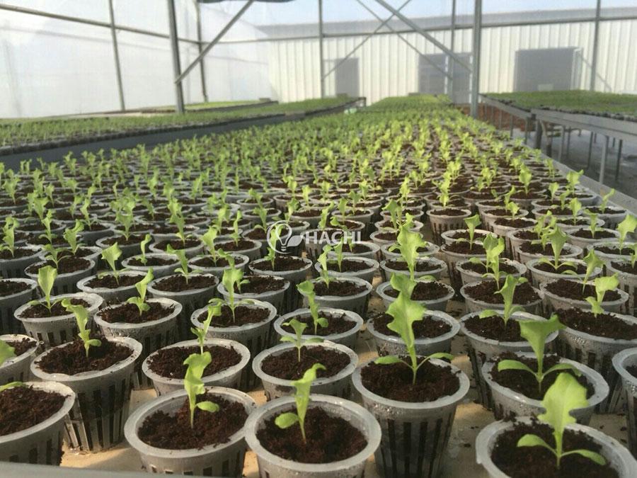 Hạt giống nhập khẩu Hà Lan được sử dụng trong trang trại DELCO với tỉ lệ nảy mầm lên đến hơn 90% và cho năng suất tốt